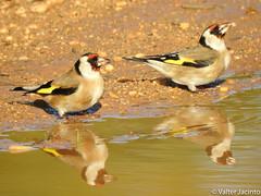 Pintassilgo // European Goldfinch (Carduelis carduelis subsp. britannica)