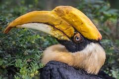 Dvojzoborožec indický (Buceros bicornis)