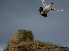 Rock ptarmigan, male bird