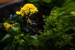 Potager Urbain #03 Begonias