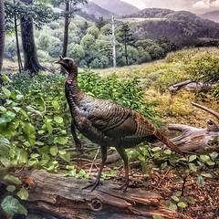 This turkey sent me on a wild goose chase