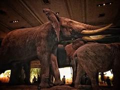 Herd of elephants. Have you heard of elephants? 😄