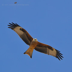 red kite - milan royal