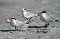 SONY-ILCE-A9, Royal Tern's, DSC01931 , 1-5000 , f-8, ISO 400, 100-400@424mm