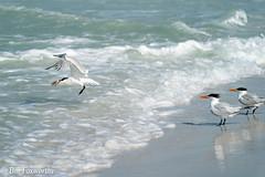 SONY-ILCE-A9, Royal Tern, DSC01974 , 1-4000 , f-8, ISO 400, 100-400@242mm