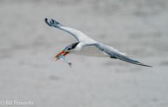 SONY-ILCE-A9, Royal Tern, DSC01896 , 1-4000 , f-8, ISO 400, 100-400@424mm