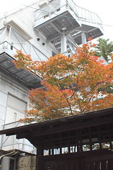 Autumn Leaves in Early Summer