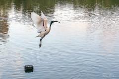 Ibis takes off