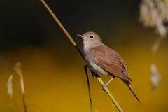 Common Nightingale | sydnäktergal | Luscinia megarhynchos