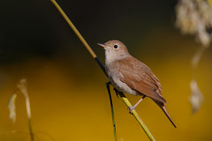 Common Nightingale | sydnäktergal | Luscinia megarhynchos