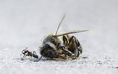 Bij en mieren