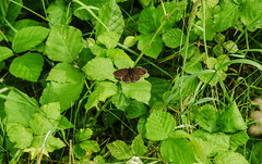 Distant first Ringlet of the year.Try large.