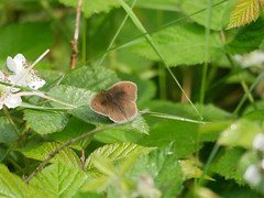 Distant open Meadow Brown.