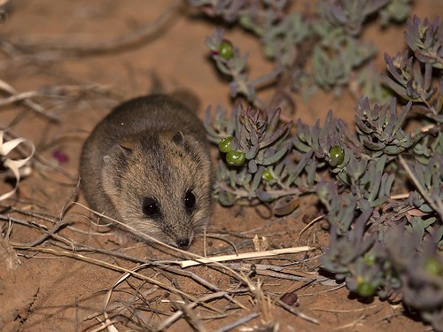 """Fat-tailed Dunnart - Terricks, Vic • <a style=""""font-size:0.8em;"""" href=""""http://www.flickr.com/photos/95790921@N07/48279663307/"""" target=""""_blank"""">View on Flickr</a>"""