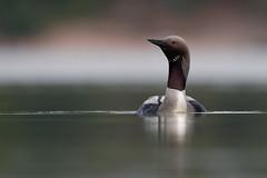 Black-throated Loon   storlom   Gavia arctica