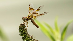 Female Amberwing Dragonfly