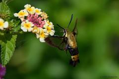 Maymont Park Hummingbird Moth