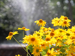 yellow flowers in front of a fontaine
