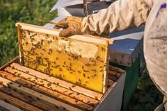 Bienenzüchter nimmt ein neues Wabenrähmchens aus dem Bienestock