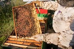 Viele Bienen fliegen herum während der Bienenzüchter sich die Wabenrähmchen anschaut