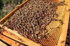 Nahaufnahme eines Wabenrähmchens mit unzähligen Bienen und viel Honig