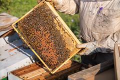 Imker hält ein Wabenrähmchen voll von Honig und Bienen