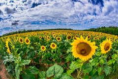 Sunflowers in the Northwoods, Part 2