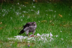 Sparrow Hawk with Catch/ Sperber mit Fang