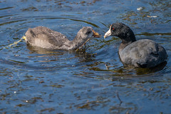 American Coot Mom and Juvenile