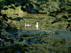 Swan and Cygnet Lynford Lakes.