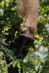 Baya Weaver exiting it's nest-1