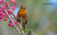 Robin / Rouge-gorge