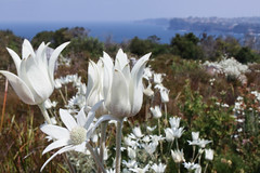 North Head flannel flowers