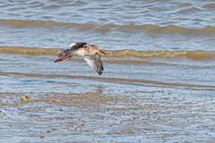 """Tureluur - Tring Totanus - Common Redshank • <a style=""""font-size:0.8em;"""" href=""""http://www.flickr.com/photos/73234388@N04/48992168558/"""" target=""""_blank"""">View on Flickr</a>"""