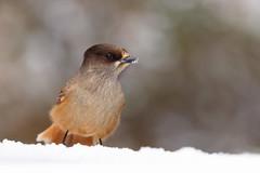 Siberian Jay | lavskrika | Perisoreus infaustus