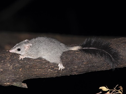 """Brush-tailed Phascogale, Phascogale tapoatafa - Locksley, Vic • <a style=""""font-size:0.8em;"""" href=""""http://www.flickr.com/photos/95790921@N07/49004756933/"""" target=""""_blank"""">View on Flickr</a>"""