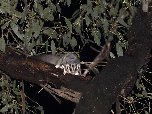 """Squirrel Glider - Petaurus norfolcensis, Locksley, Vic • <a style=""""font-size:0.8em;"""" href=""""http://www.flickr.com/photos/95790921@N07/49023262632/"""" target=""""_blank"""">View on Flickr</a>"""