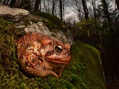 American Toad (Anaxyrus americanus)