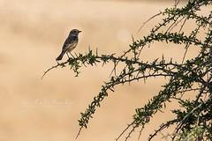 Bramborníček Hnědý (Saxicola rubetra)