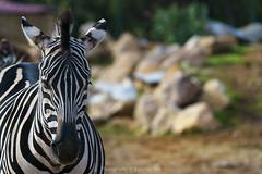 beauty in stripes