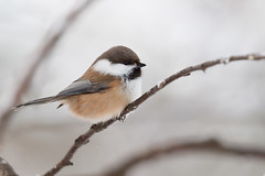 Grey-headed Chickadee | lappmes | Poecile cinctus
