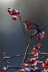 Pine Grosbeak | tallbit | Pinicola enucleator