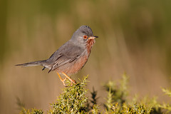 Dartford Warbler | provencesångare | Sylvia undata