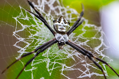 Argiope Silver Spider