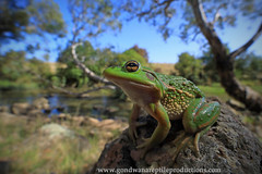 the growling grass frog