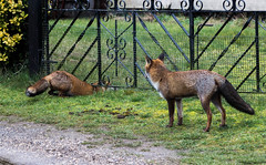 Two foxes.