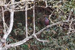 Laurel Pigeon | lagerduva | Columba junoniae