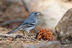 Gran Canaria Blue Chaffinch | grancanariablåfink | Fringilla polatzeki