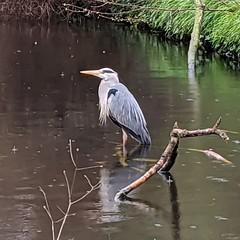 New River Heron