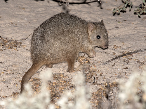 "Boodie - Burrowing Bettong - Bettongia lesueur, Bernier Island • <a style=""font-size:0.8em;"" href=""http://www.flickr.com/photos/95790921@N07/49675231341/"" target=""_blank"">View on Flickr</a>"